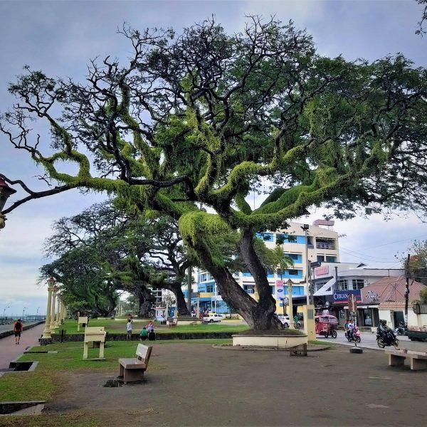 Großer Baum an der Hafenpromenade Dumaguete City