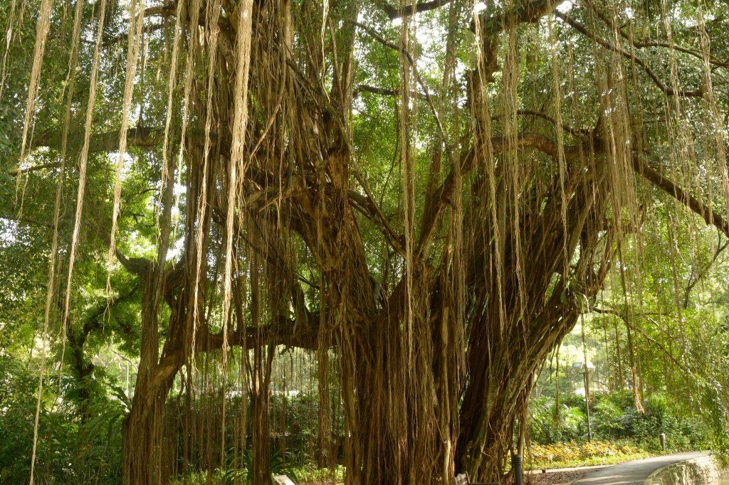 Banyan Tree mit hängenden Luftwurzeln in Siquijor