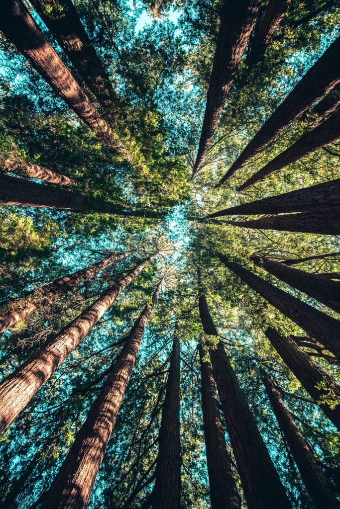 hohe Pinienbäume ragen in den himmel