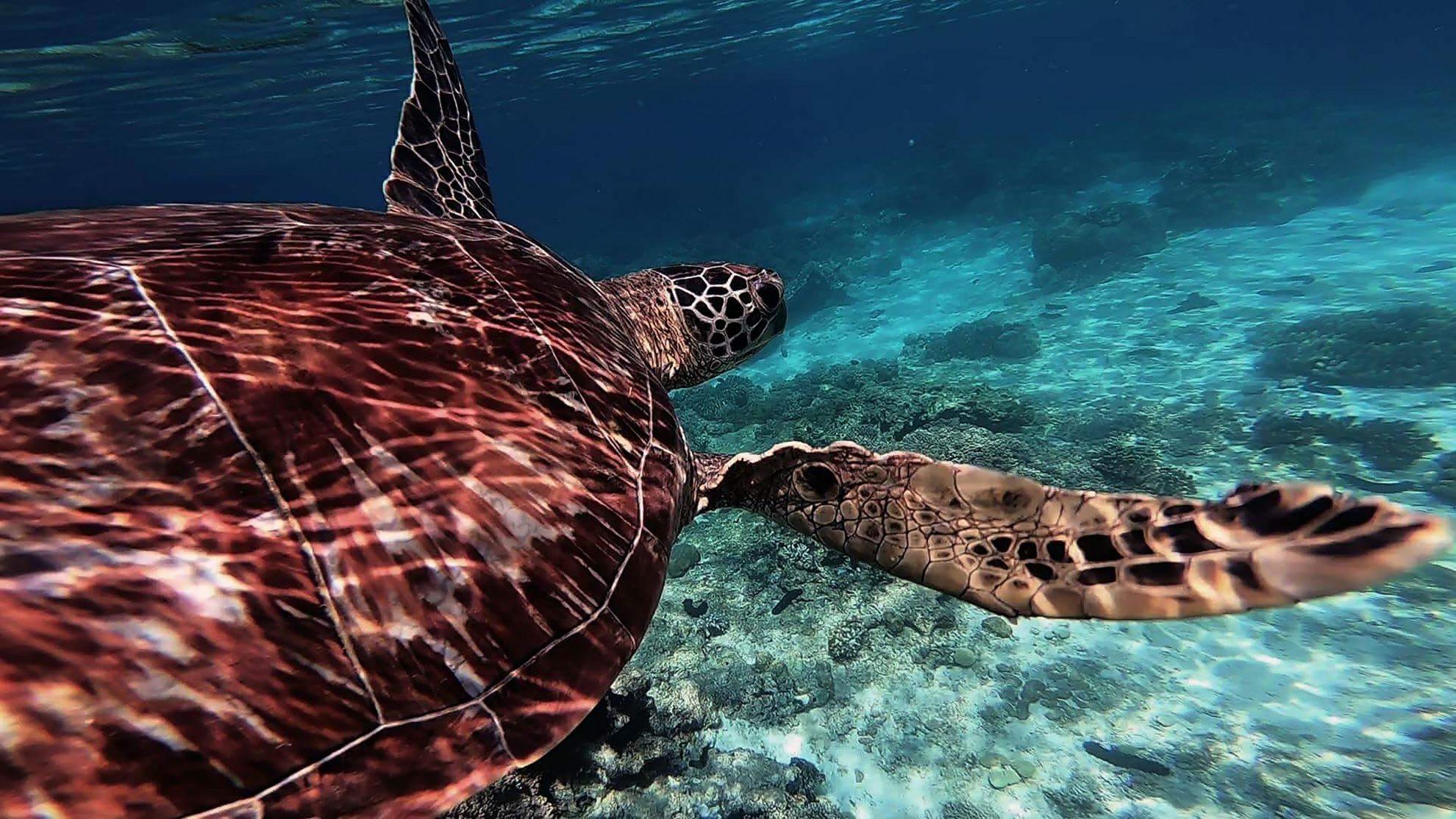 schildkröte beim schnorcheln vor apo island