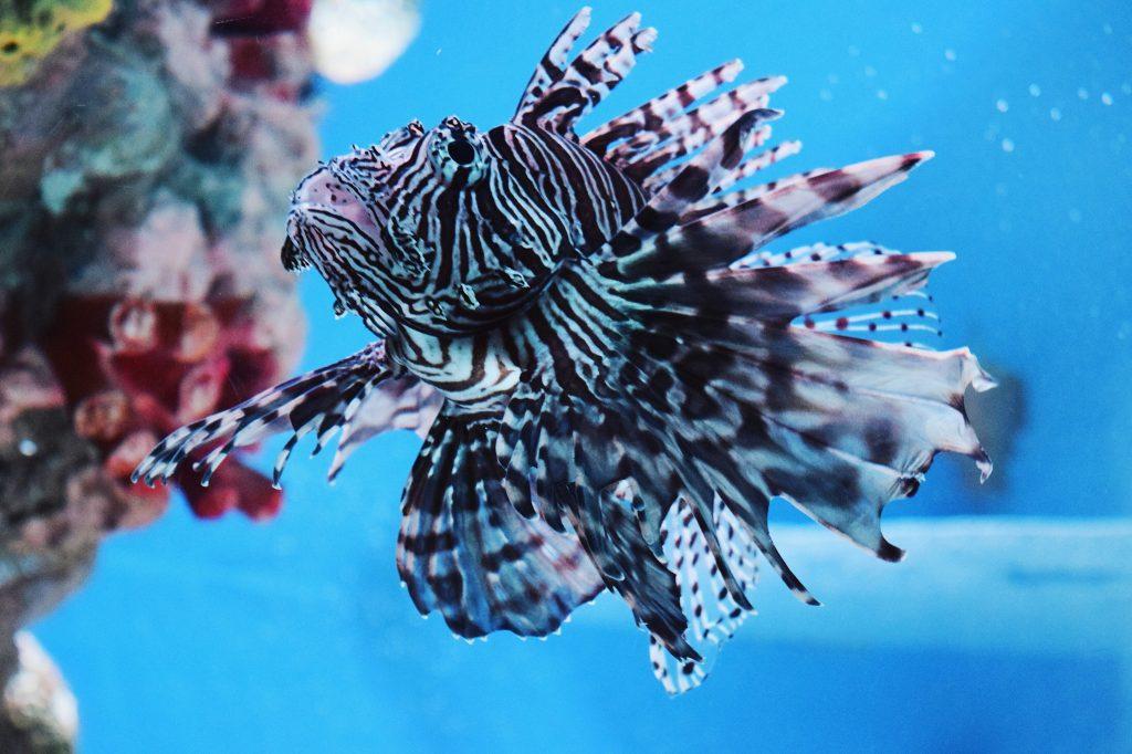Unterwasser Feuerfisch