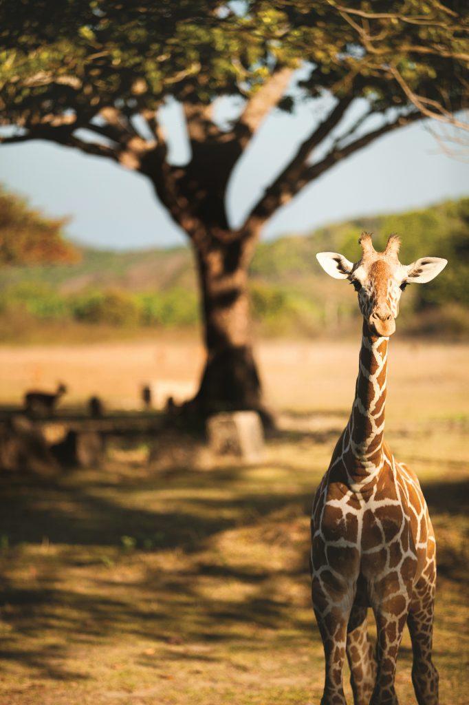 Giraffe auf Calauit Island in Coron - Philippine DOT - © Francisco Guerrero