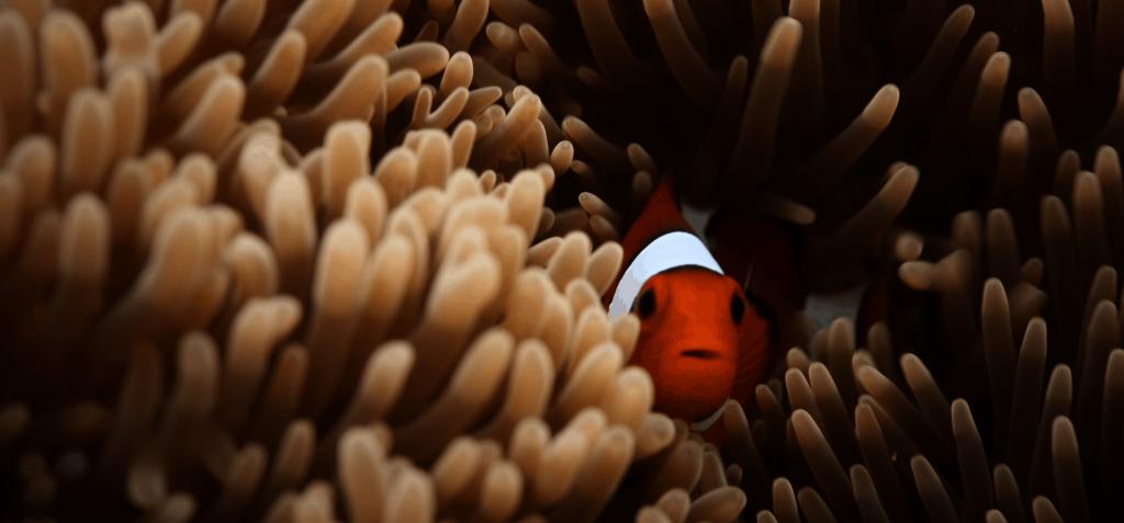 Clownfisch in Anemone ©Desmond-williams via Unsplash