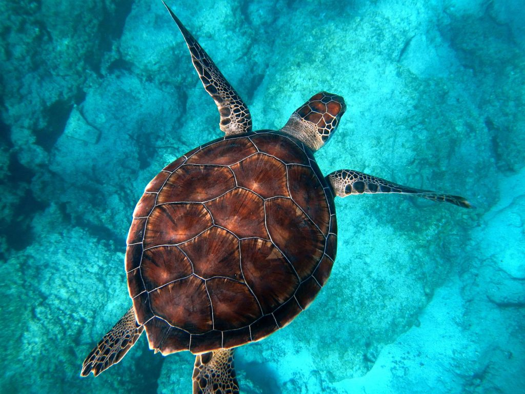 Meeresschildkröte-©Randall-ruiz via Unsplash